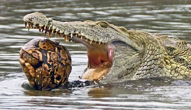 Buaya-Besar-Ini-Coba-Telan-Kura-kura-Apa-Yang-Terjadi