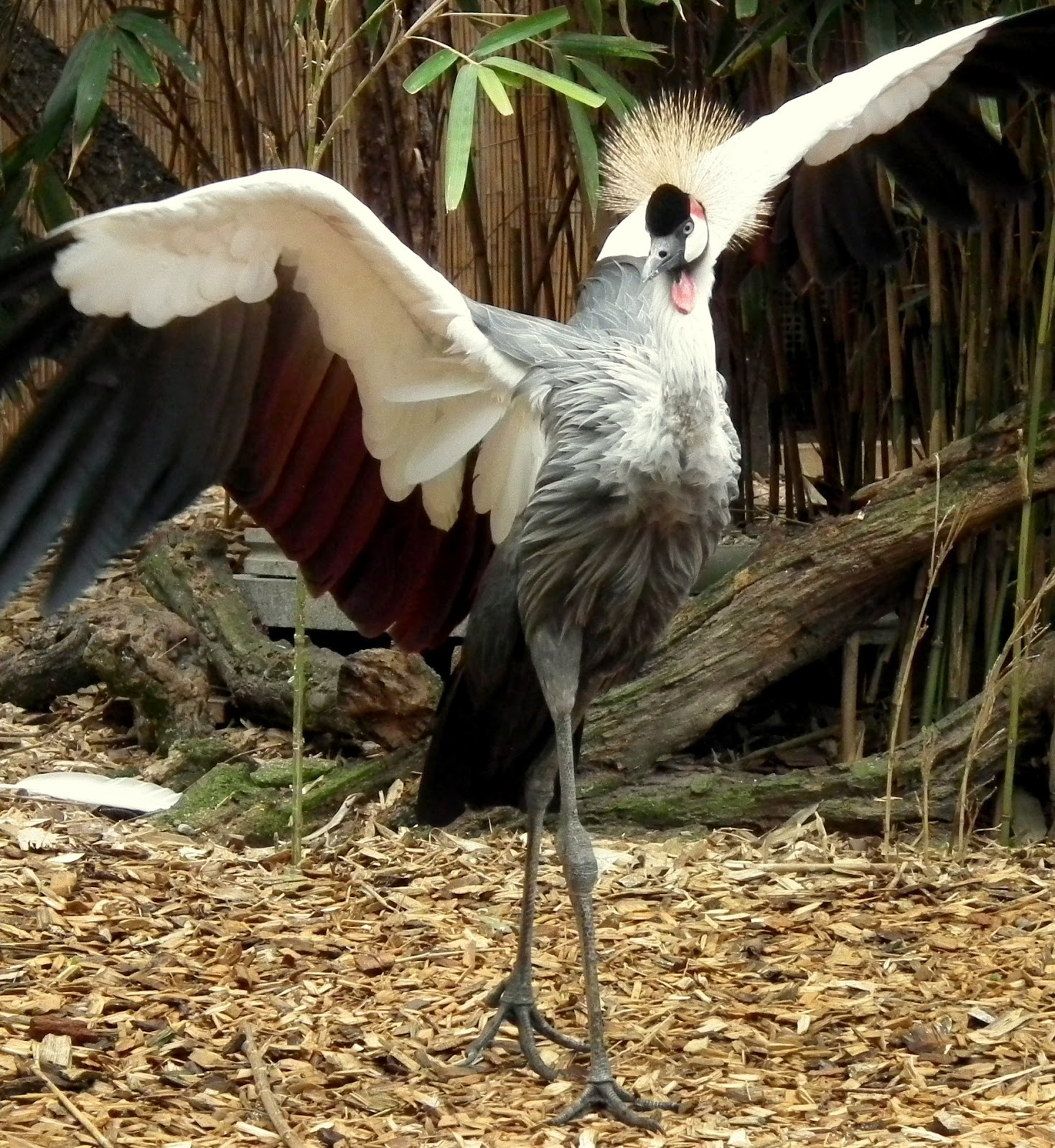 A crowned crane ballet dancing.