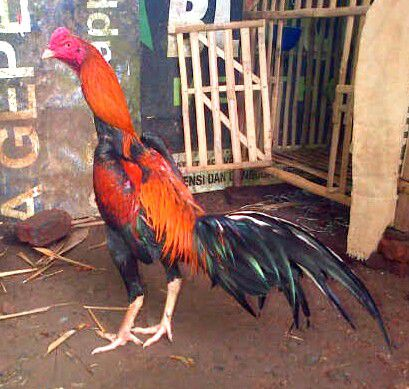 Ayam Bangkok Berkualitas 2017