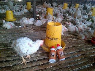 mempercepat pertumbuhan ayam broiler, mempercepat masa panen