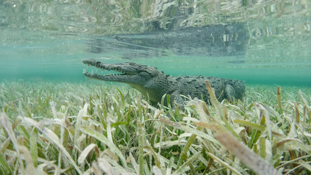 Crocodile open jaw observes target in Jardines de la Reina