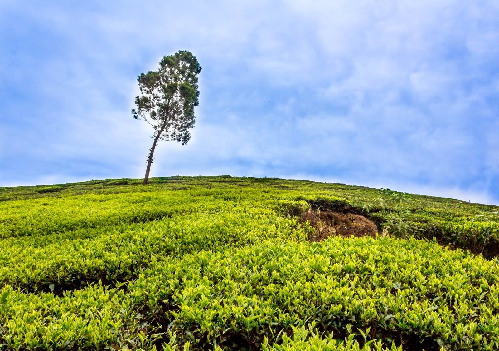 Solo tree in a tea plantation