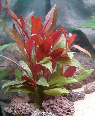 Cây thủy sinh huyết tâm lan lá dài phổ biến trong cộng đồng người chơi thủy sinh