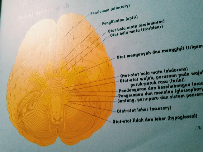 mengenal bagian-bagian penting dari otak