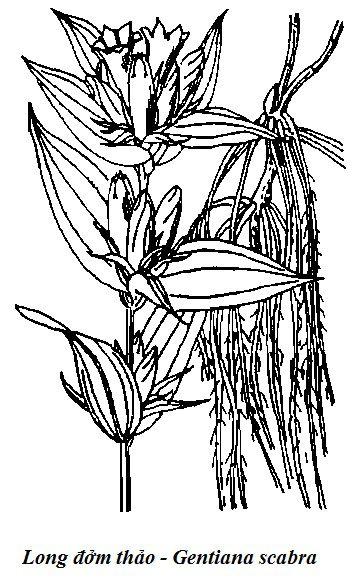 Hình vẽ cây Long đởm thảo - Gentiana scabra - Nguyên liệu làm thuốc Chữa Bệnh Tiêu Hóa