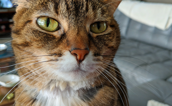 image of Sophie the Torbie Cat in extreme close-up as she sits on my lap and puts her face in my face, enticing me to pet her
