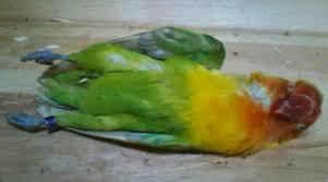 Awas Anakan Lovebird Mati karena Hal Sepele.