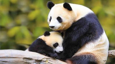 Imagen osa panda con su cachorro