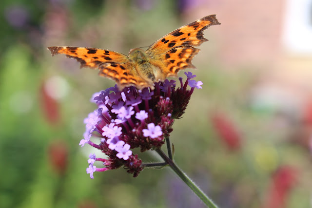 A comma butterfly sips nectar from a Verbena bonariensis bloom
