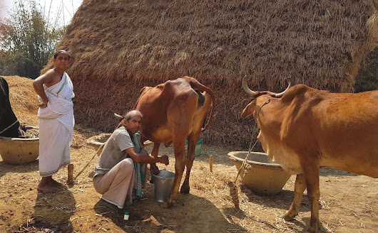 Couple milking cows, Birbhum, West Bengal