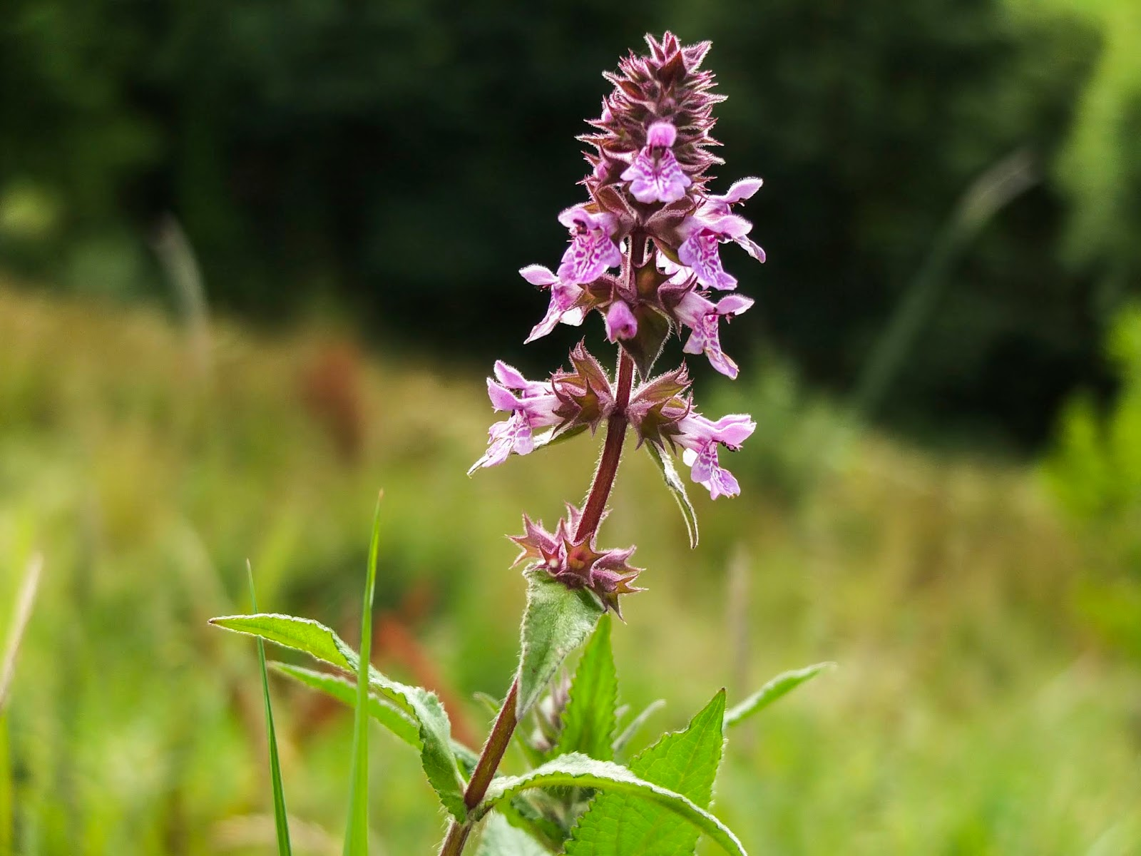 A single wildflower Orchid in a grassy field on a slope.