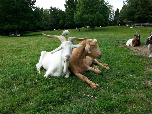 How to care for pet goats. Goats are social and should be housed in groups, like here