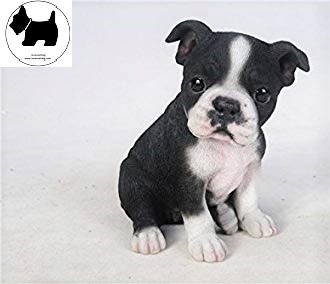 Cutest Dog Breeds, Best Dog, Boston Terrier Dog puppies