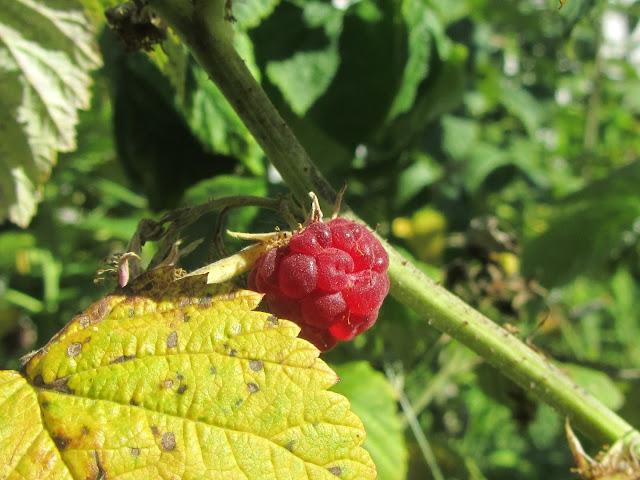 Frutto Rubus idaeus