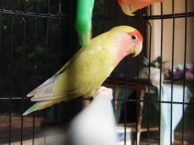 Tips Perawatan Burung Lovebird agar Menjadi Jawara Terampuh