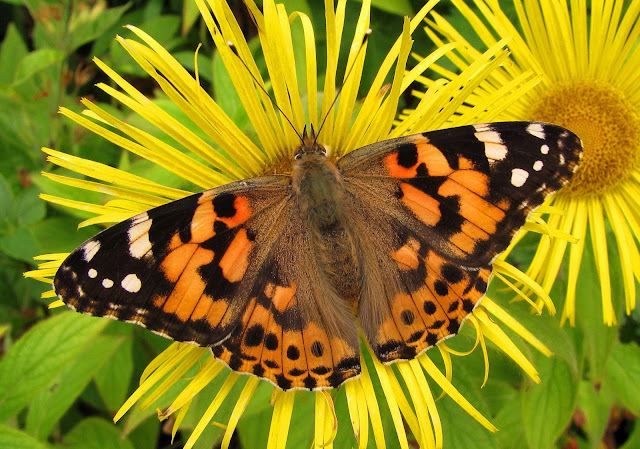 Painted Lady - Cheshire