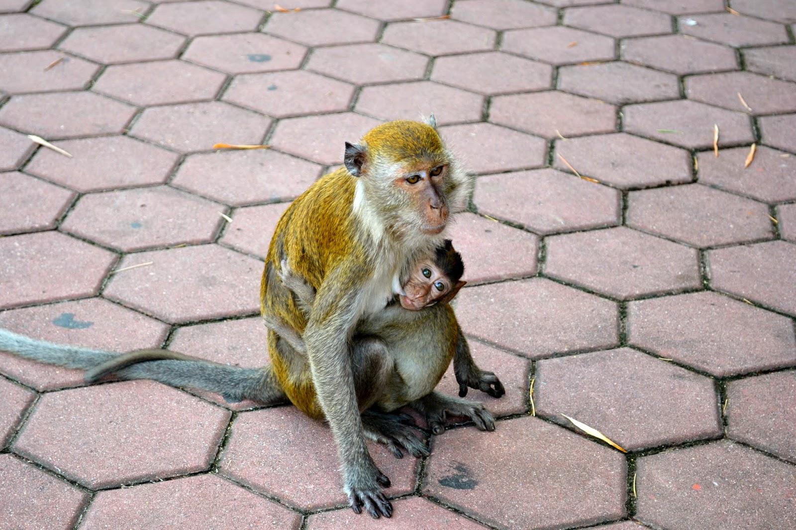Monos en Batu Caves, Kuala Lumpur, Malasia