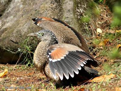 Gorsachius melanolophus - Malayan Night-Heron