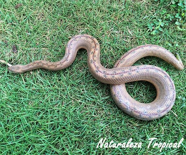 Boa enana, Tropidophis melanurus