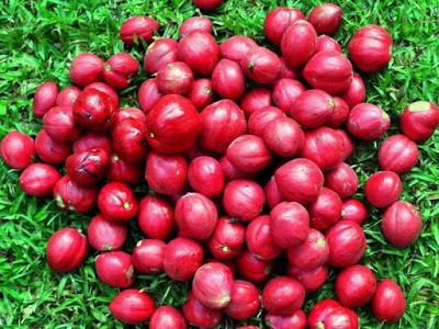 6 Ramuan Herbal Menggunakan Buah Mahkota Dewa