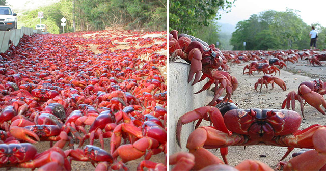 Look Millions Of Red Crabs Migrate Annually And Almost Cover The