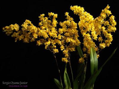 Orquídea Chuva de Ouro - Oncidium Twinkle 'Yellow Fantasy'