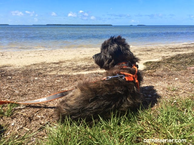 Oz the Terrier at Florida Bay, Everglades National Park