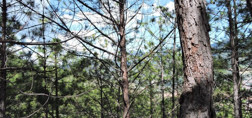 árbol pino