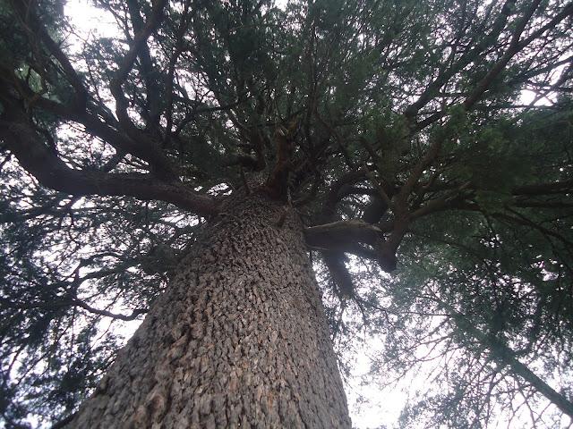 Cedrus, Pinaceae, Manali, Trees
