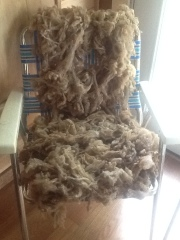 The Targhee fleece, drying