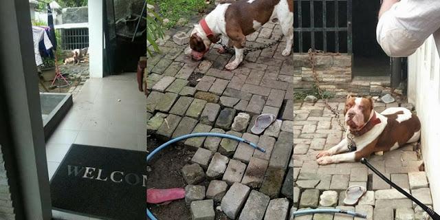 Tragis!! Bocah 8 Tahun Tewas Digigit Anjing Pitbul Peliharaan Orangtuanya