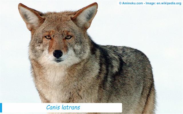 Fakta unik tentang coyote