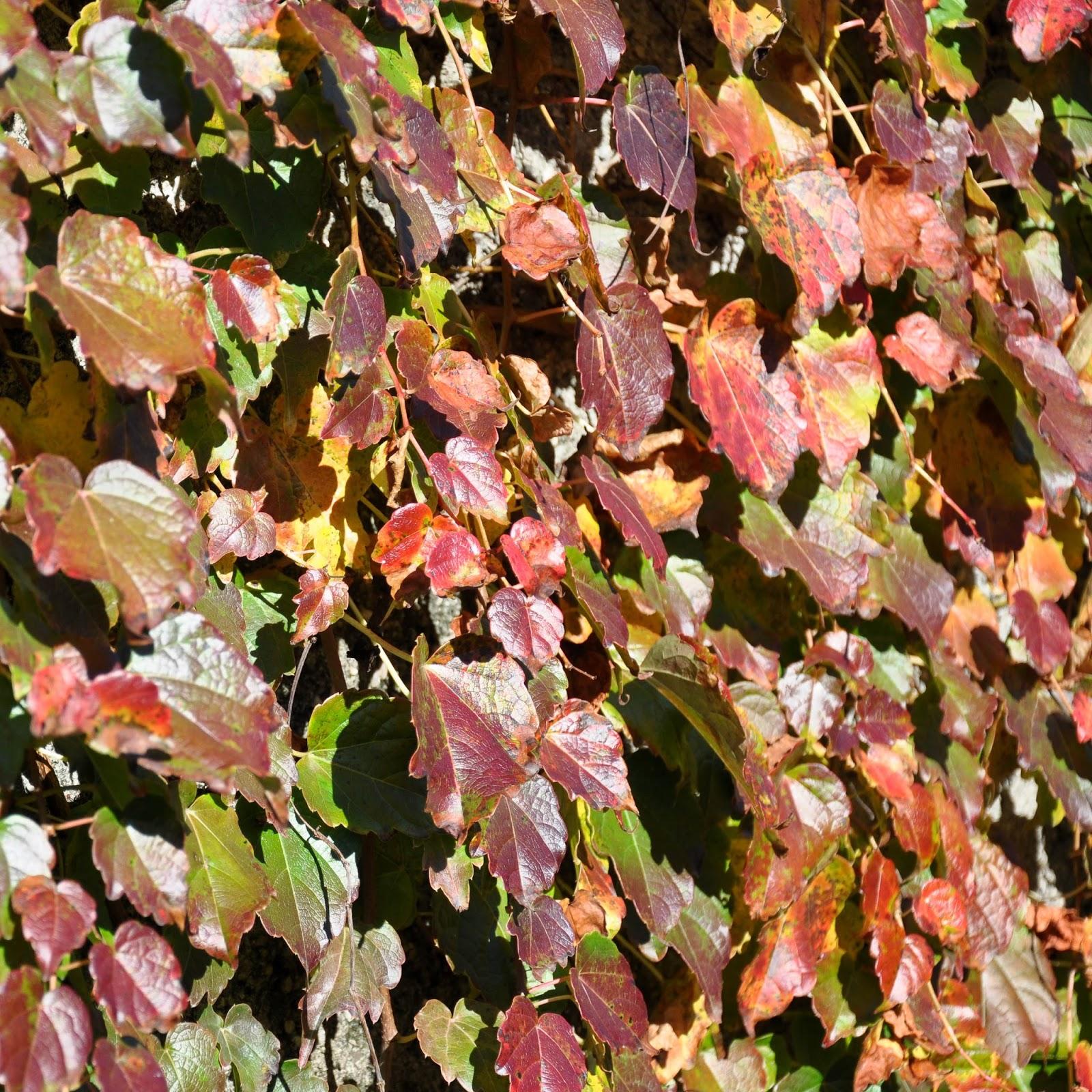 Ivy, Feltre, Veneto, Italy