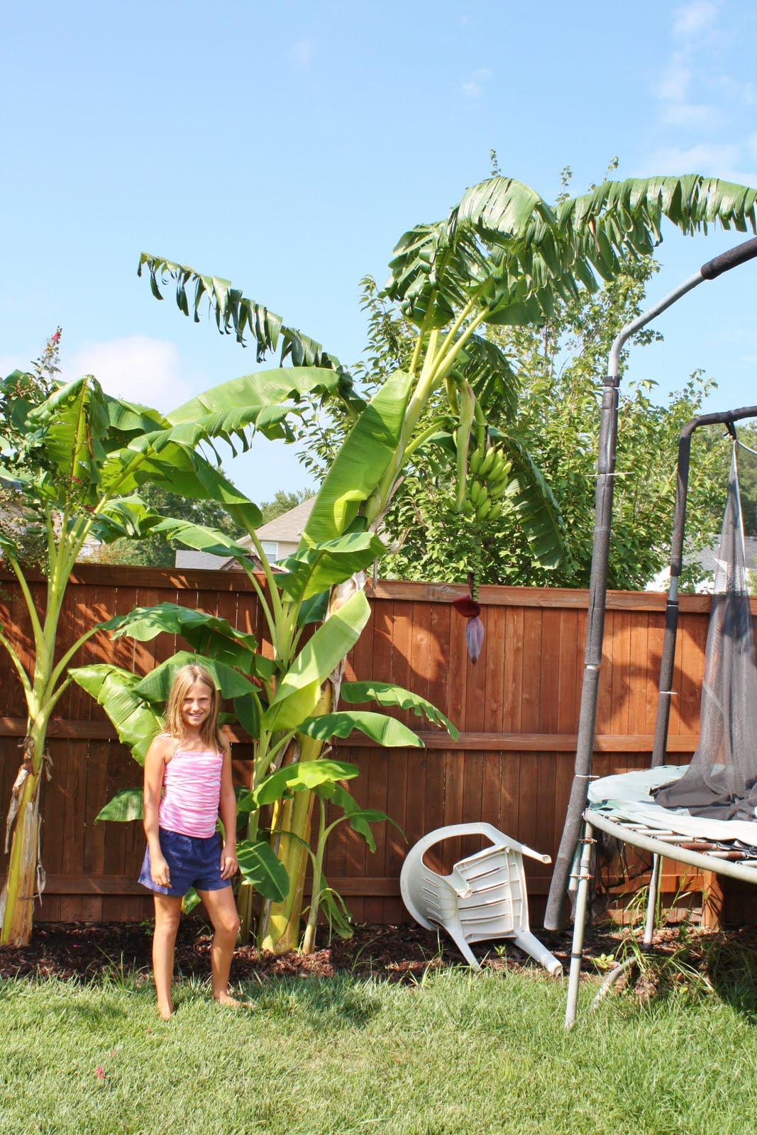 Banana Tree Fertilizer