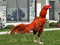 Cara Mengobati Ayam Ngorok Alami Tradisional