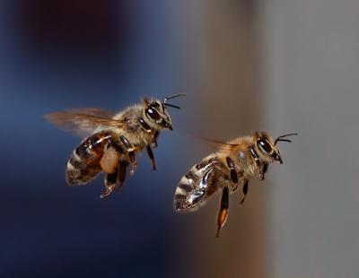 bal arılarının uçuş hızı, işçi arılar