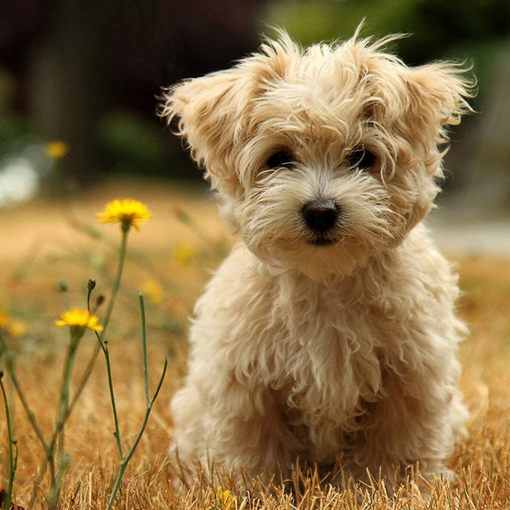 Top 12 cutest dogs in the world |Cute Poodle Puppies