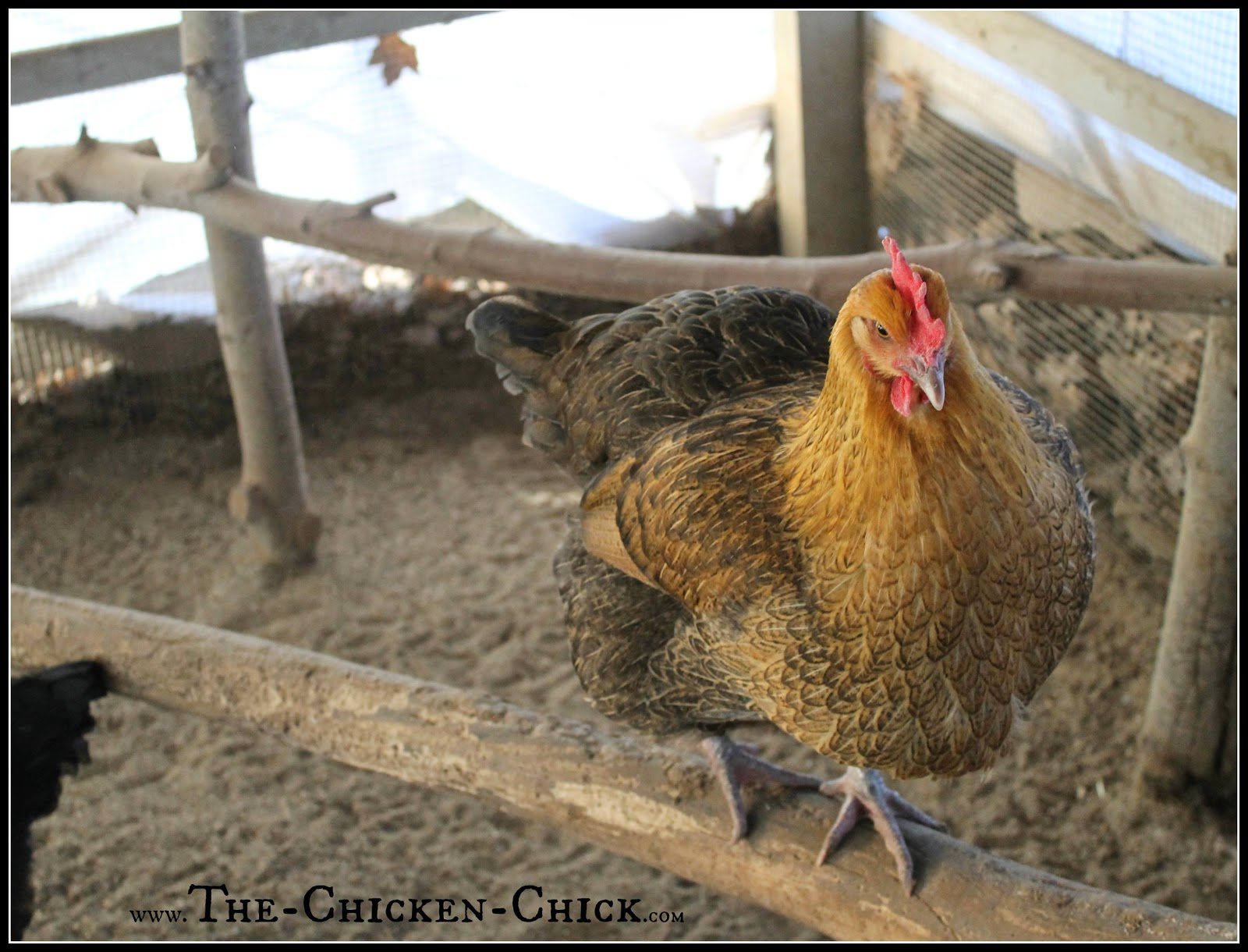 Chickens have a natural instinct to roost and perch up off the ground. Provide them with a variety of things to roost on and move them around from time-to-time to keep things interesting. By building up, the total square footage available to the flock is increases.