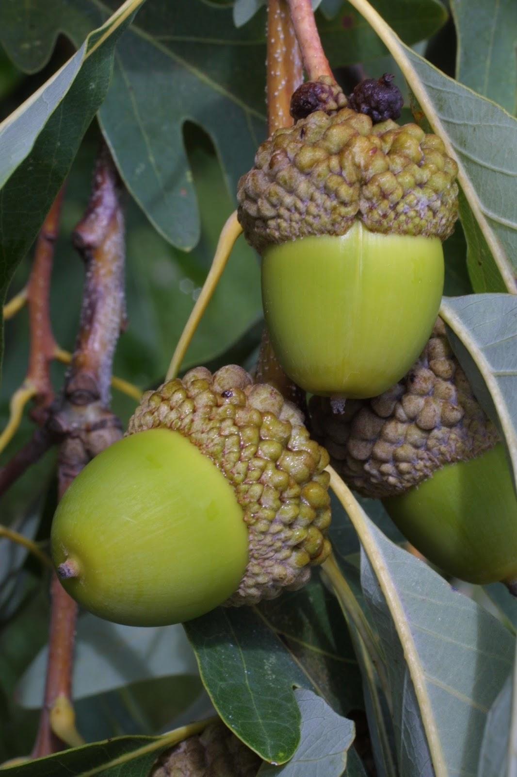 Oak (Quercus Alba) Overview, Health Benefits, Side effects ...  Oak (Quercus Al...