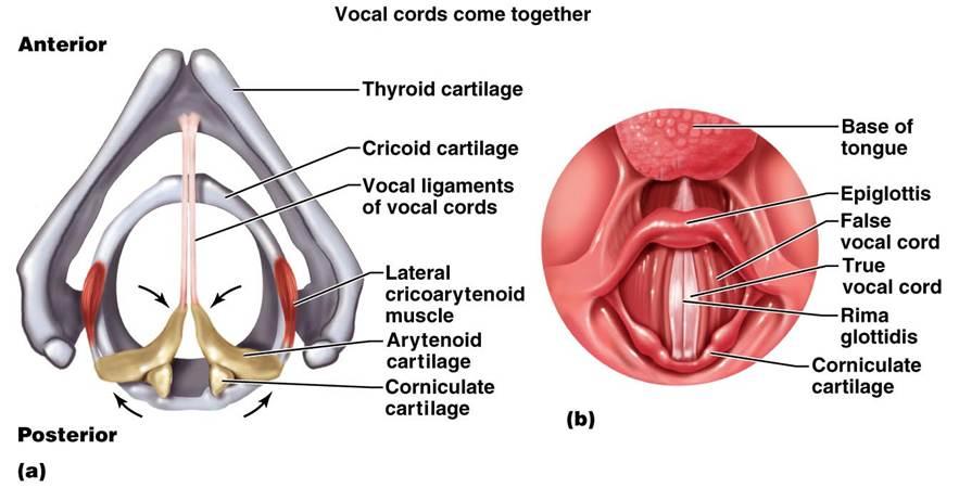 Vocal Folds Anterior