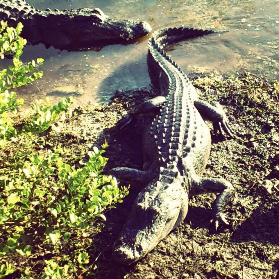 Alligators in Florida Everglades