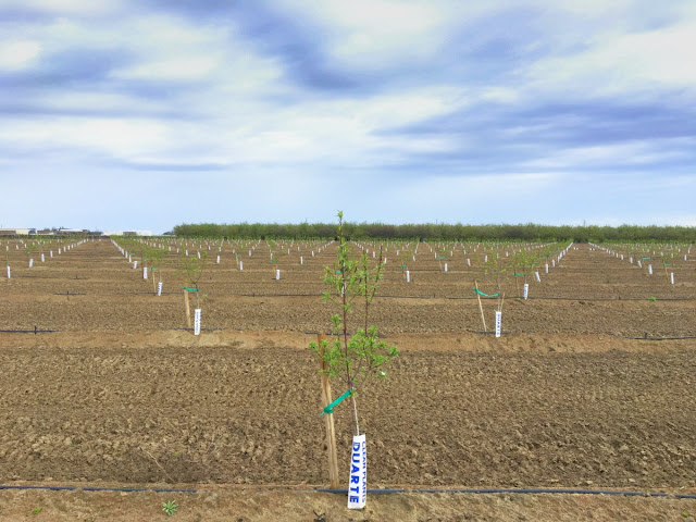 recently planted orchard