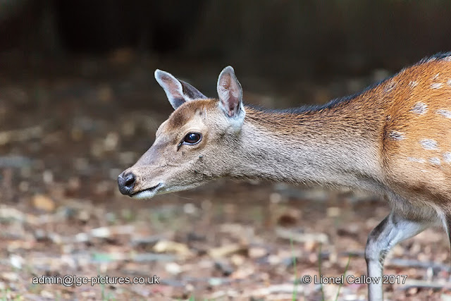 A doe on the move