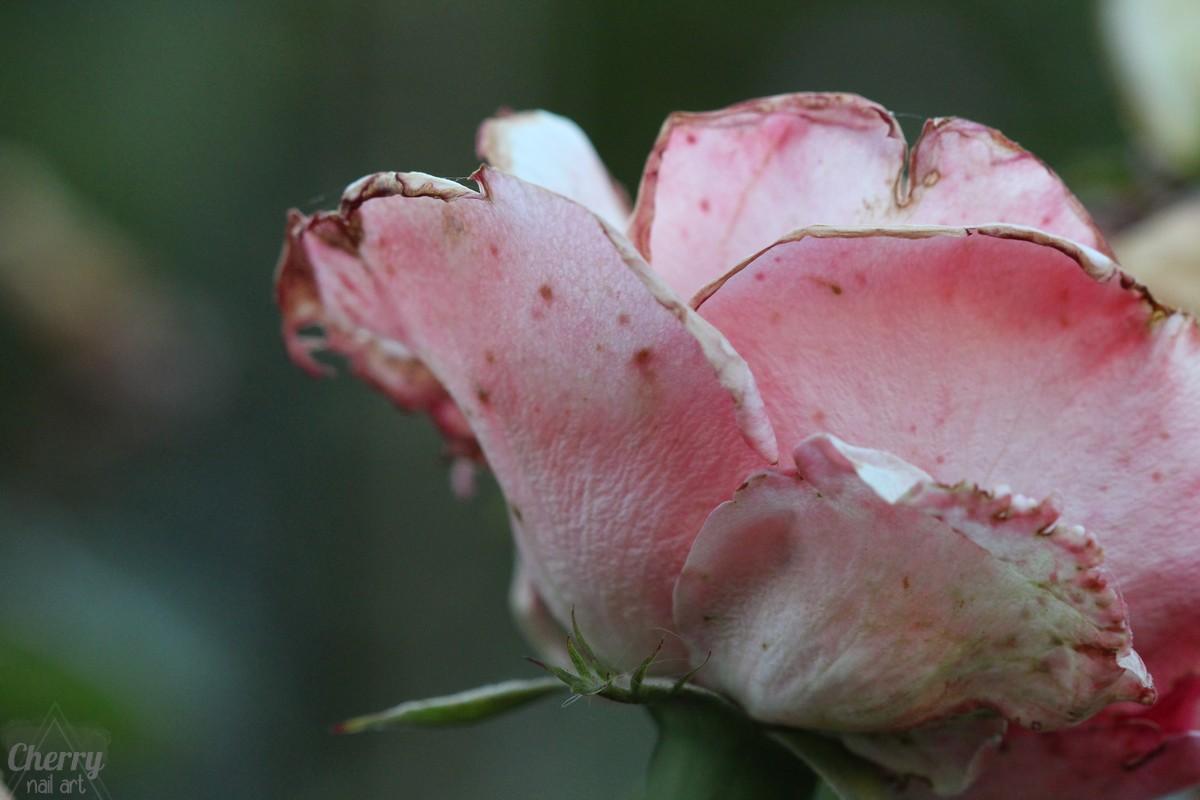vieille-rose-macro