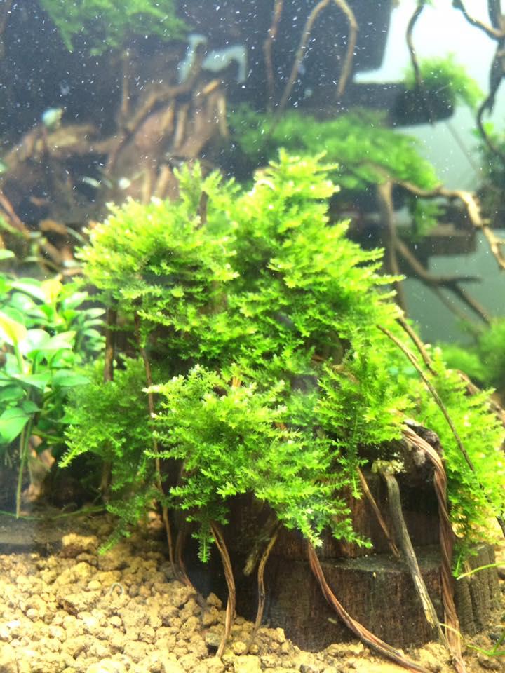 Phụ kiện thủy sinh - rêu mini taiwan rất được người chơi ưa chuộng