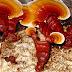 Ganoderma Mushroom Spawn- 750 Rs/ 500 gm pack