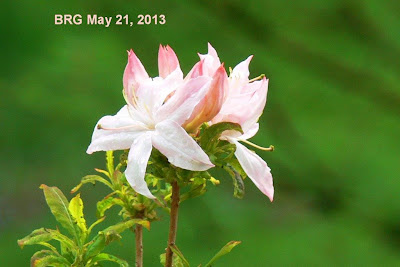 Pink buds become white on large blooming rhododendron flower.