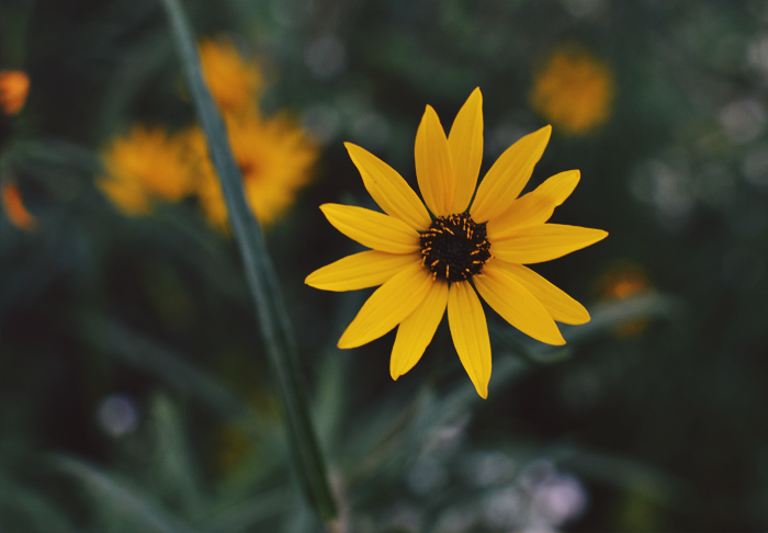 The Flying Clubhouse: Around the Clubhouse | Amber and Gold #blackeyedsusan