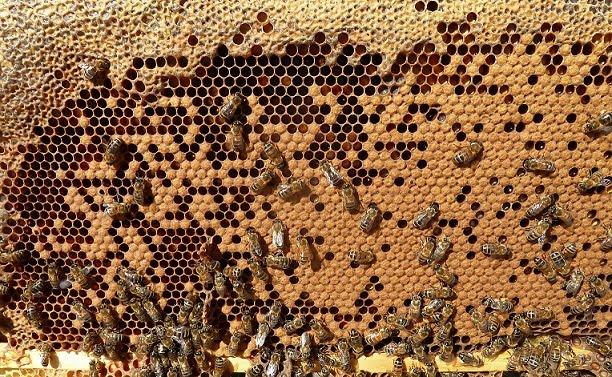 Το ξεγόνιασμα του μελισσιού: Τι συμφέρει τελικά το μελισσοκόμο; Τι γίνετε με τη βαρρόα;