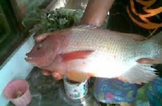 cara budidaya ikan nila di kolam terpal,cara budidaya ikan nila di kolam kecil,cara budidaya ikan nila di sungai,cara budidaya ikan nila di keramba,,